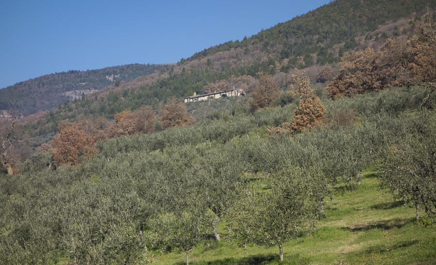 Ulivi in Umbria